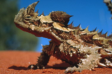 Thorny Devil (Moloch horridus) portrait on sand, Australia  -  Mitsuaki Iwago