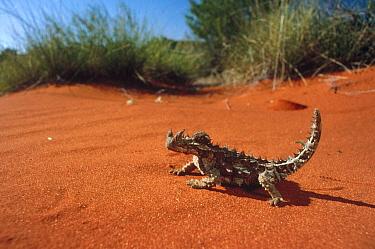 Thorny Devil (Moloch horridus) on sand, Australia  -  Mitsuaki Iwago