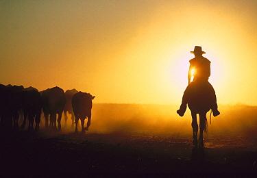 Cowboy on horseback herding cattle at sunset, Australia  -  Mitsuaki Iwago