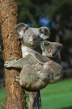 Koala (Phascolarctos cinereus) mother with young clinging to back, Australia  -  Mitsuaki Iwago