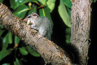 Brush-tailed Phascogale (Phascogale tapoatafa) feeding on frog in tree, Australia  -  Mitsuaki Iwago
