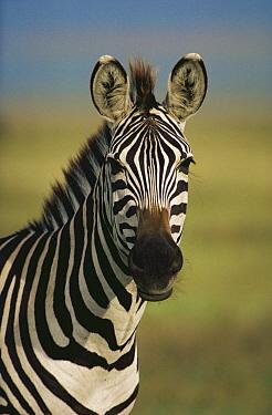 Burchell's Zebra (Equus burchellii) portrait, Botswana  -  Mitsuaki Iwago