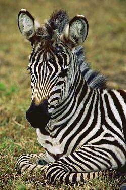Burchell's Zebra (Equus burchellii) foal portrait, Botswana  -  Mitsuaki Iwago