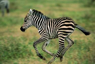 Burchell's Zebra (Equus burchellii) foal running, Botswana  -  Mitsuaki Iwago