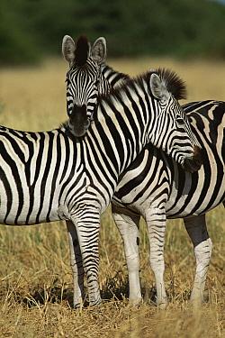 Burchell's Zebra (Equus burchellii) affectionate pair, Botswana  -  Mitsuaki Iwago