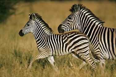 Burchell's Zebra (Equus burchellii) mother and foal, Botswana  -  Mitsuaki Iwago