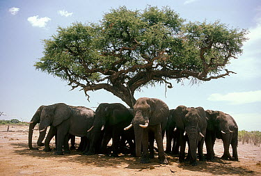 African Elephant (Loxodonta africana) herd staying cool in the shade of an Acacia tree, Botswana  -  Mitsuaki Iwago