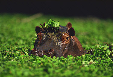 Hippopotamus (Hippopotamus amphibius) emerging from a river full of water lettuce, Botswana  -  Mitsuaki Iwago