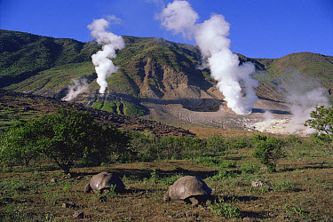 Galapagos Giant Tortoise (Chelonoidis nigra) pair and thermal vents, Galapagos Islands, Ecuador  -  Mitsuaki Iwago