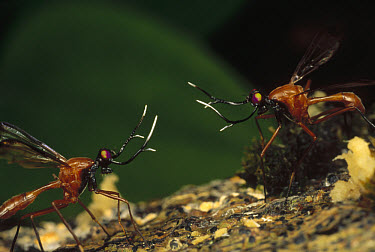 Stag Fly (Phytalmia cervicornis) two males from adjacent territories approach for battle, Papua New Guinea  -  Mark Moffett