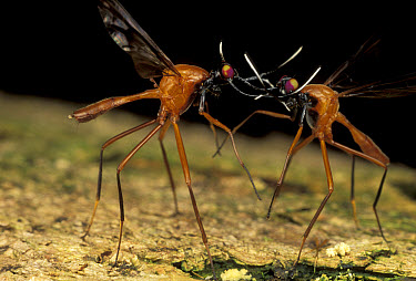 Stag Fly (Phytalmia cervicornis) males battling, Papua New Guinea  -  Mark Moffett