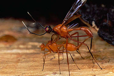 Stag Fly (Phytalmia cervicornis) pair mating, connected by her oviscape, Papua New Guinea  -  Mark Moffett