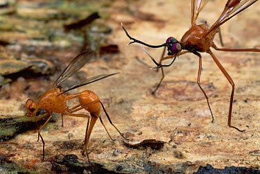 Stag Fly (Phytalmia cervicornis) female lays her eggs as the male keeps watch, Papua New Guinea  -  Mark Moffett