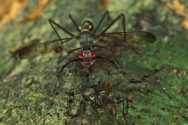 Goat Fly (Phytalmia mouldsi) male in courtship posture, Queensland, Australia  -  Mark Moffett