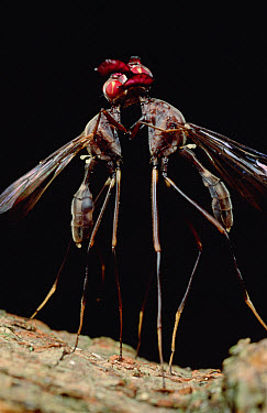 Goat Fly (Phytalmia mouldsi) males clashing antlers while fighting, Queensland, Australia  -  Mark Moffett