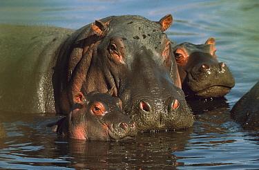Hippopotamus (Hippopotamus amphibius) mother wallowing with her young, Kenya  -  Mitsuaki Iwago