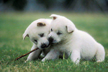 Kishu Inu (Canis familiaris) two puppies playing with a twig, Japan  -  Mitsuaki Iwago