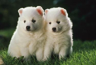 Spitz (Canis familiaris) two puppies, Japan  -  Mitsuaki Iwago