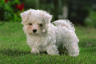 Maltese (Canis familiaris) puppy standing on green lawn  -  Mitsuaki Iwago
