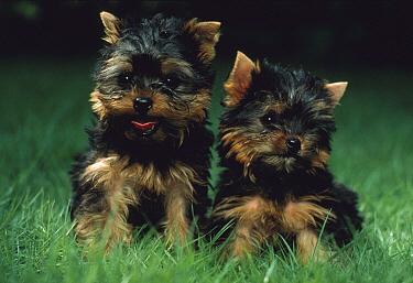 Yorkshire Terrier (Canis familiaris) two puppies, Japan  -  Mitsuaki Iwago