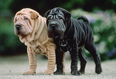 Shar Pei (Canis familiaris) two puppies, Japan  -  Mitsuaki Iwago