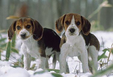 Beagle (Canis familiaris) two puppies standing in snow, Japan  -  Mitsuaki Iwago