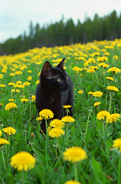 Domestic Cat (Felis catus) kitten in field of Dandelions (Taraxacum officinale)  -  Mitsuaki Iwago