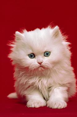 Domestic Cat (Felis catus) Persian kitten portrait against red background  -  Mitsuaki Iwago