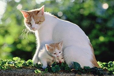 Domestic Cat (Felis catus) with kittens, Japan  -  Mitsuaki Iwago