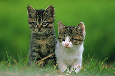 Domestic Cat (Felis catus) kitten pair, Japan  -  Mitsuaki Iwago