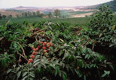 Coffee (Coffea arabica) berries on plantation, east Africa  -  Mitsuaki Iwago