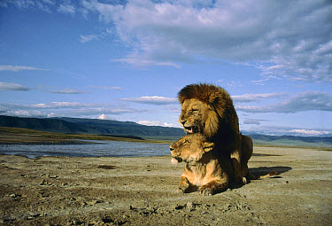 African Lion (Panthera leo) couple mating, Serengeti National Park, Tanzania  -  Mitsuaki Iwago