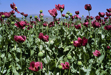Opium Poppy (Papaver somniferum) field, Turkey  -  Mitsuaki Iwago