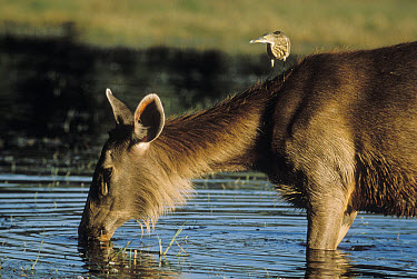 Sambar (Cervus unicolor) drinking while a heron perches on its shoulder, India  -  Mitsuaki Iwago