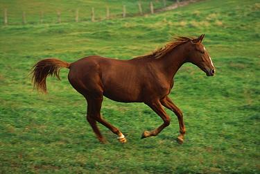 Domestic Horse (Equus caballus) running, North America  -  Mitsuaki Iwago