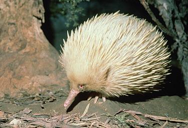 Short-beaked Echidna (Tachyglossus aculeatus) albino portrait, Australia  -  Mitsuaki Iwago