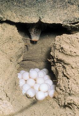 Loggerhead Sea Turtle (Caretta caretta) female laying eggs in nest in beach sand, Australia  -  Mitsuaki Iwago