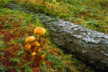 Mushrooms and Sphagnum Moss with fallen branch, Minnesota  -  Jim Brandenburg