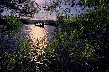 Discovery Lake seen through coniferous forest, Minnesota  -  Jim Brandenburg