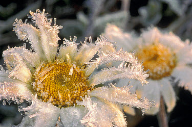 Marguerite (Leucanthemum vulgare) pair covered with frost, Minnesota  -  Jim Brandenburg