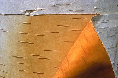 Paper Birch (Betula papyrifera) bark peeling, Minnesota  -  Jim Brandenburg
