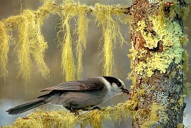 Canada Jay (Perisoreus canadensis) foraging in lichen covered tree, Minnesota  -  Jim Brandenburg