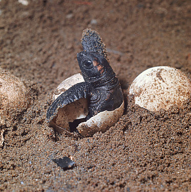 Loggerhead Sea Turtle (Caretta caretta) hatchling emerging from underground nest on sandy beach, Australia  -  Mitsuaki Iwago