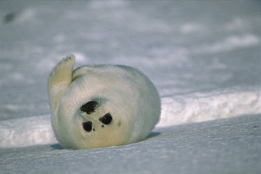 Harp Seal (Phoca groenlandicus) pup laying on back in snow, Gulf of St Lawrence, Canada  -  Mitsuaki Iwago