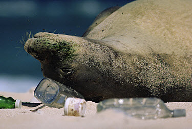 Hawaiian Monk Seal (Monachus schauinslandi) sleeping among garbage washed up on beach, Hawaii  -  Mitsuaki Iwago