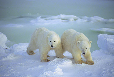 Polar Bear (Ursus maritimus) cubs on snow field, Churchill, Manitoba, Canada  -  Michio Hoshino