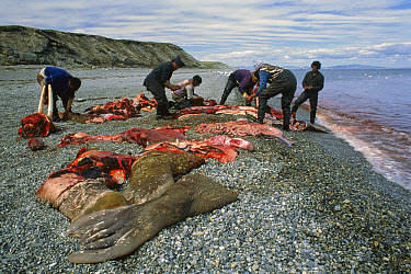 Pacific Walrus (Odobenus rosmarus divergens) harvested by Inuits, Alaska  -  Michio Hoshino