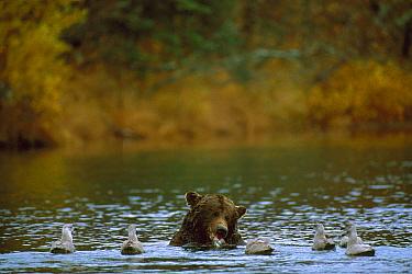 Grizzly Bear (Ursus arctos horribilis) feeding on salmon with gulls waiting to scavenge fish remains, Alaska  -  Michio Hoshino