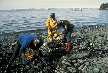 Workers attempting to clean oil residue off of local beaches after the Exxon Valdez oil spill, Alaska  -  Michio Hoshino