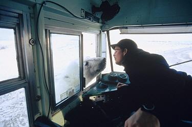 Polar Bear (Ursus maritimus) inspects small tundra buggy and driver, Churchill, Manitoba, Canada  -  Flip  Nicklin